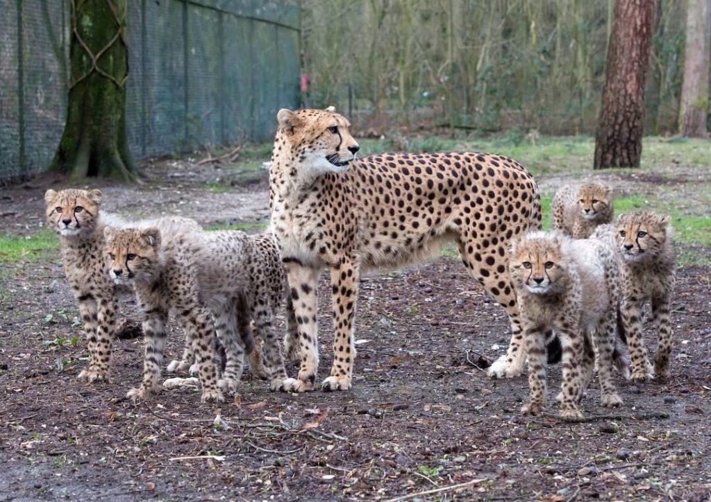 burgers-zoopressebilderDie Geparden sind bereits ein wenig gewachsen klein