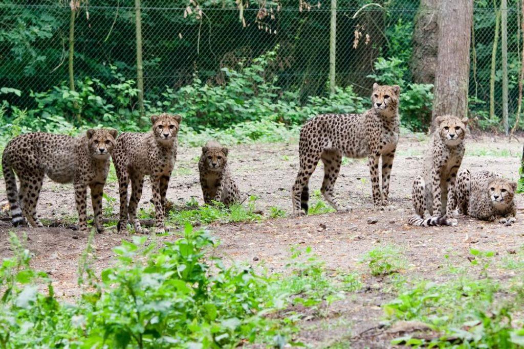 burgers-zoopressebilderGeparden-Sechslinge erwachsen