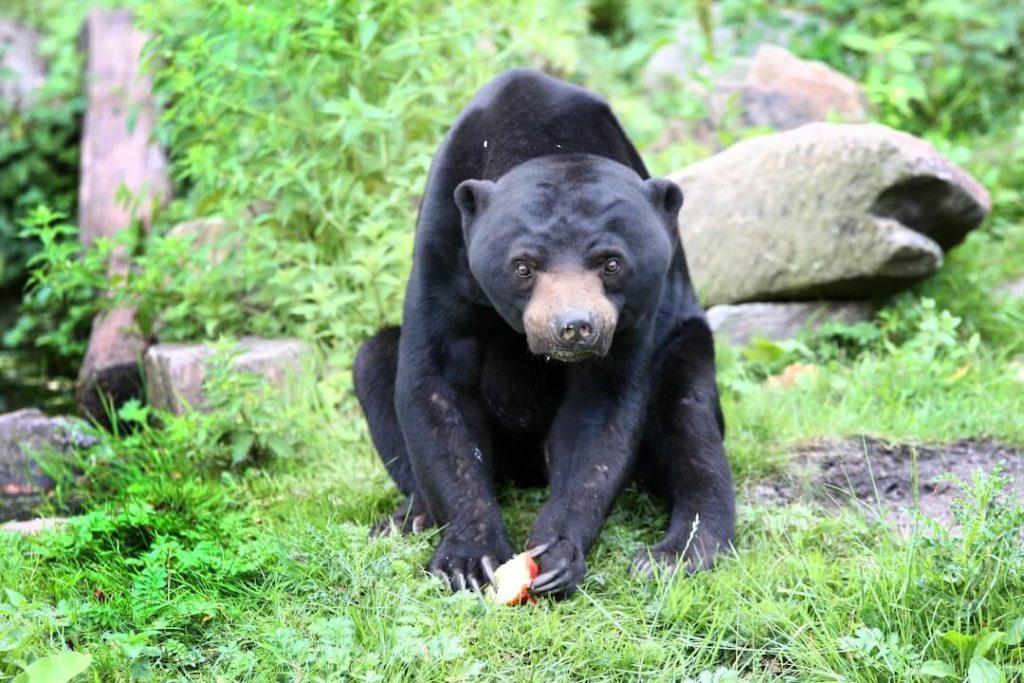 burgers-zoopressebilderMalaienbär-Männchen