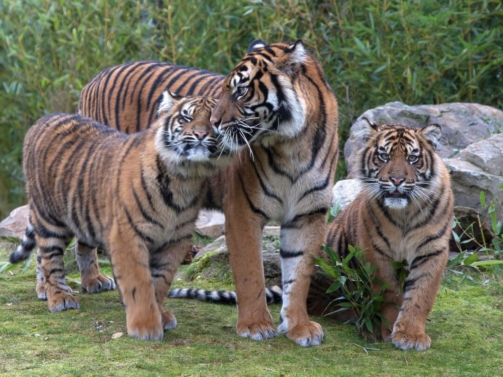 burgers-zoopressebilderTiger im Burgers´ Zoo