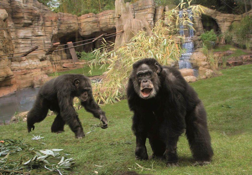 zoo-hannover-presse-kibongo-schimpansen-erlebniszoohannover