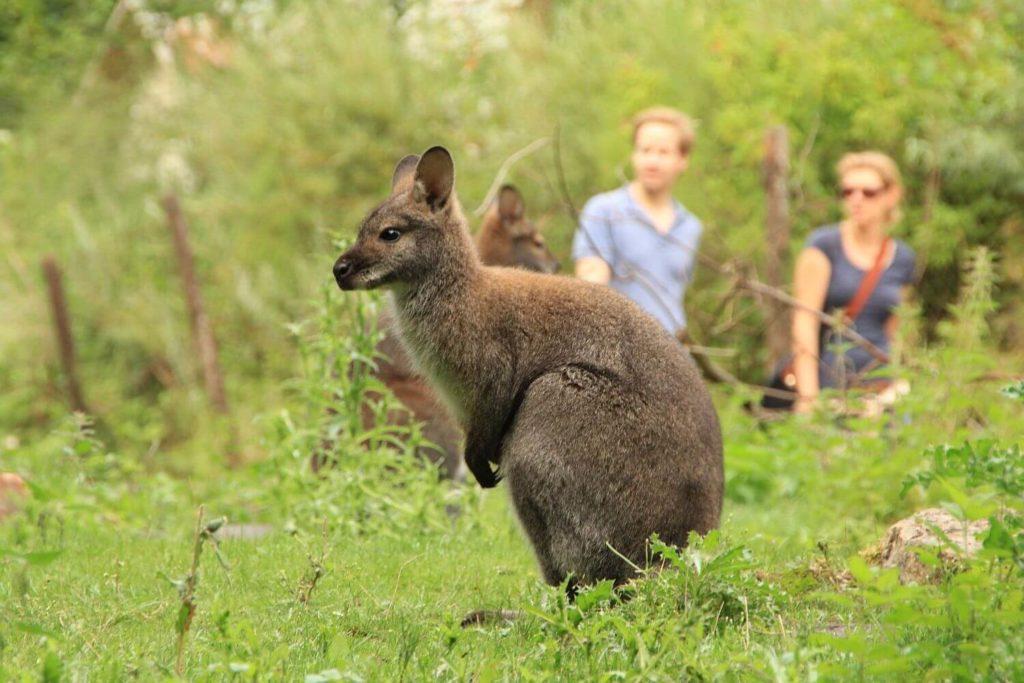 zoo-hannover-presse-outback-bennettanlage-erlebniszoo-hannover