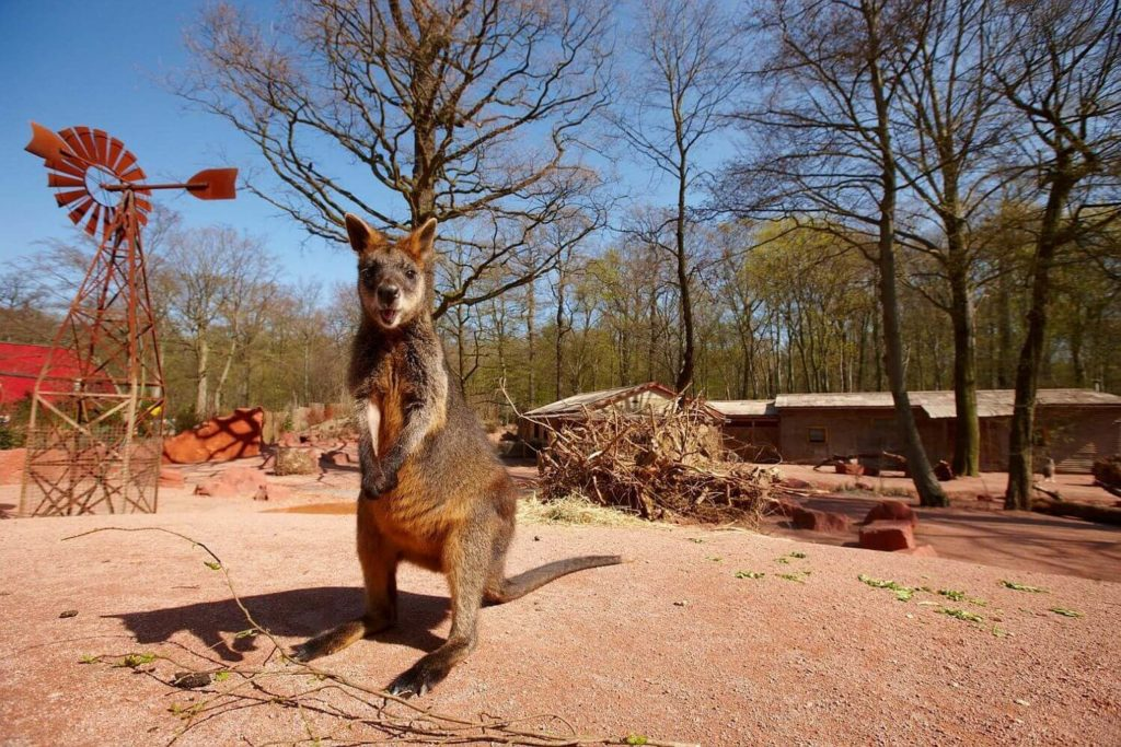 zoo-hannover-presse-outback-sumpfwallaby-erlebniszoo-hannover