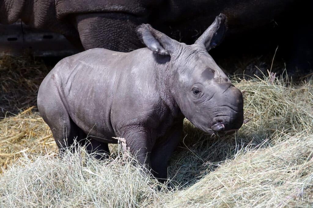 Serengeti Park pm NashornbabyKai06