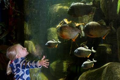 SEA LIFE Königswinter Wiedereröffnung Kind mit Piranhas