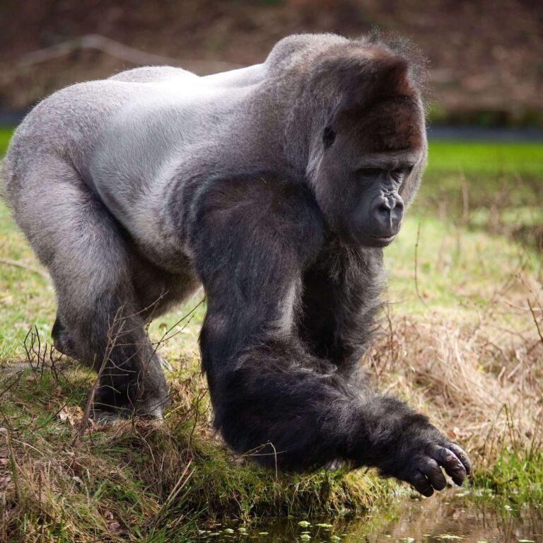 Burgers Zoo Gorilla PM