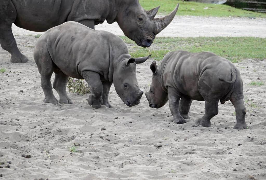 Serengeti Park Nashornbabys PM
