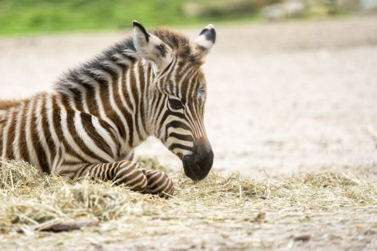 Burgers Zoo Zebra
