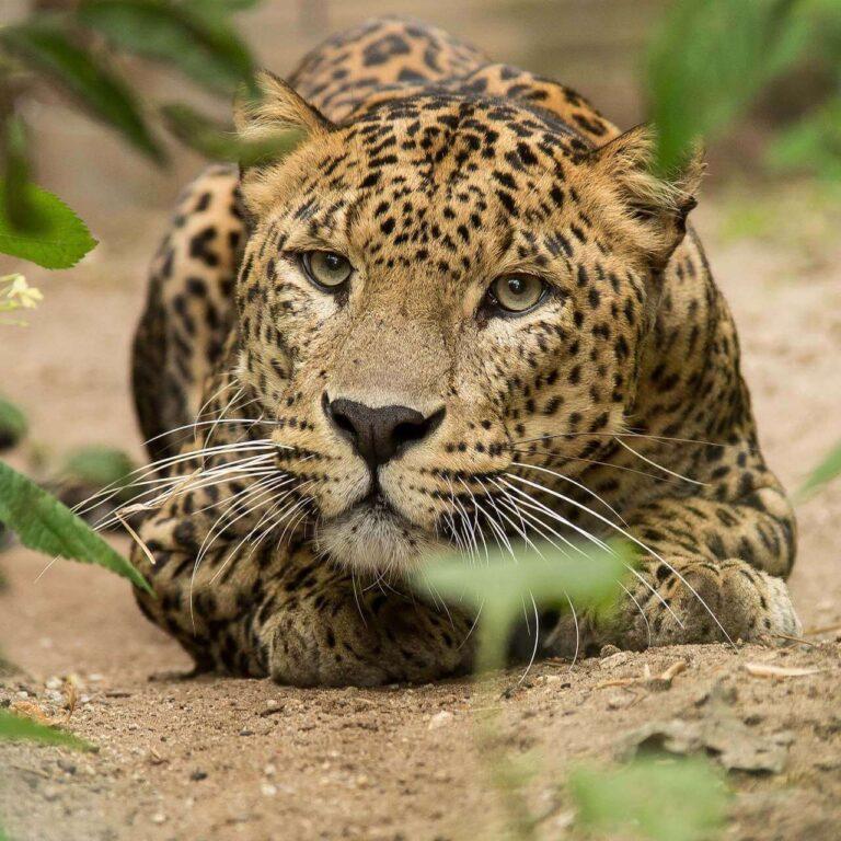 Burgers Zoo Leoparden