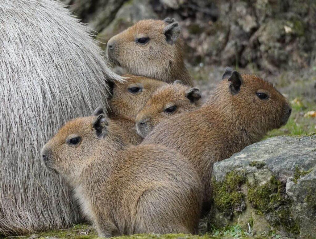 Gestapelt die fuenf Wasserscheinchen Erlebnis Zoo Hannover