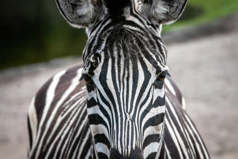 Serengeti Park Hodenhagen Zebra