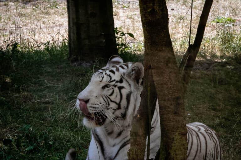 Serengeti Park Hodenhagen Tiger
