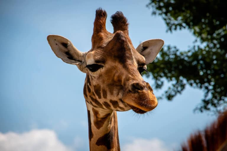 Serengeti Park Hodenhagen Giraffe schaut