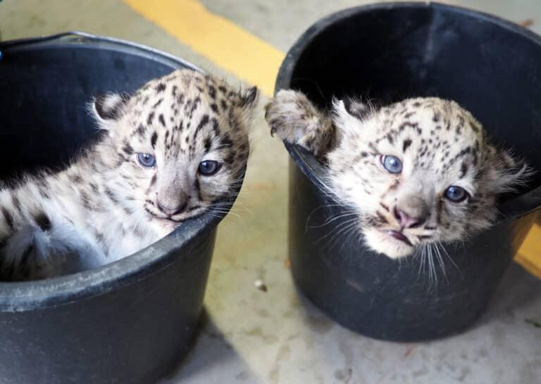 erster_Zuchterfolg_kranich_leopard_zoo_leipzig