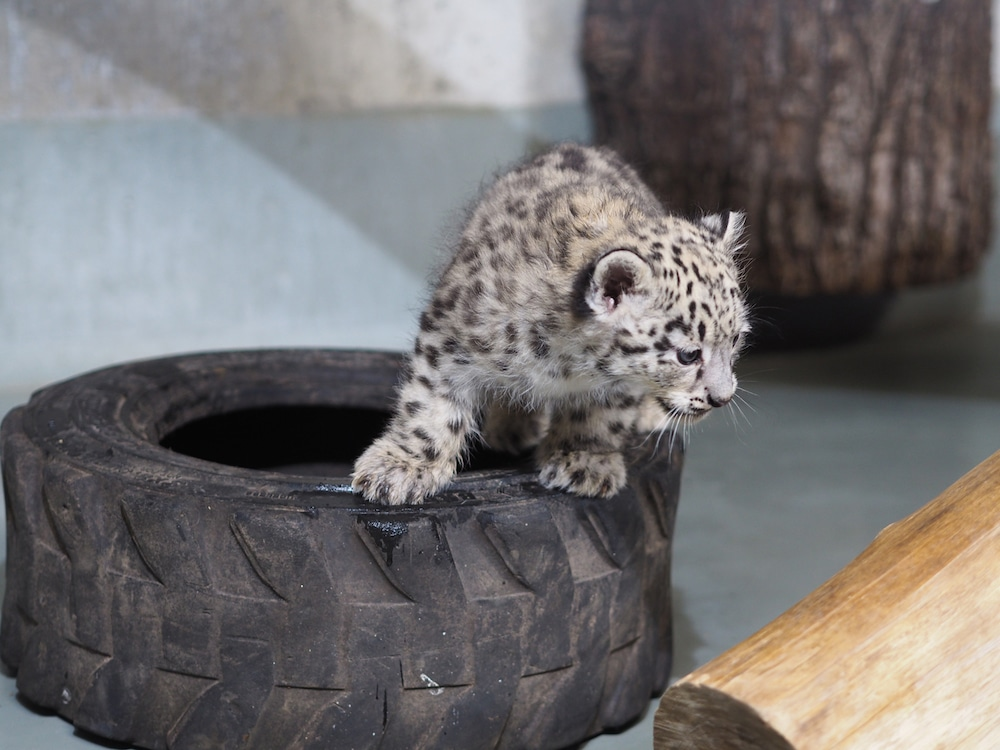Namensssuche_leopard_taufe_zoo_leipzig