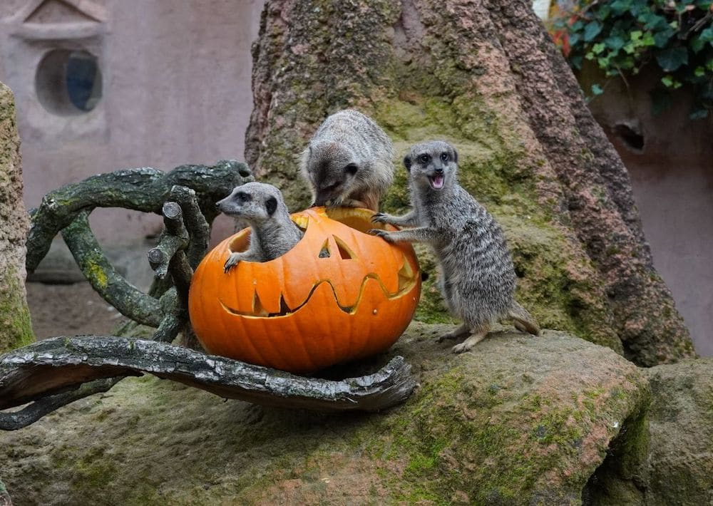 Halloween-Workshop_zoo_hannover_erdmännchen